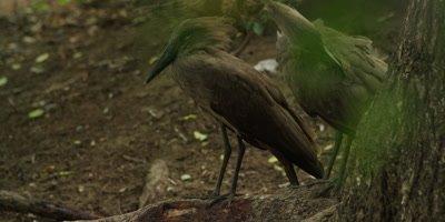 Hamerkop - pair preening 2