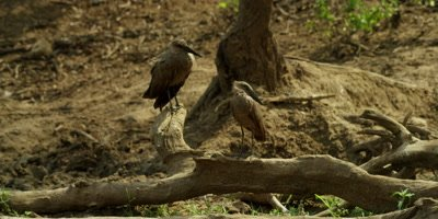 Hamerkop - pair on dead log, wide