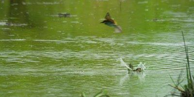 European Bee-eater - pair plunge bathing