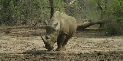 White Rhino with Big Horn in Zululand