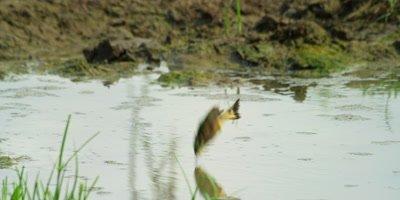 Little Bee-eater - plunge bathing