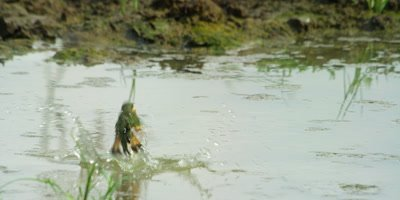 Little Bee-eater - plunge bathing 2