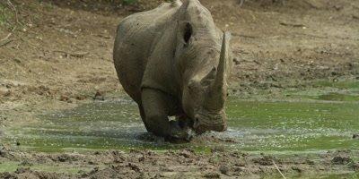 White Rhino - walks toward camera then lies down in mud