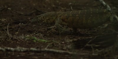 Rock Monitor Lizard - walking