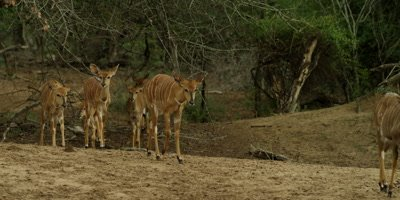 Nyala - herd leaving bush and walking toward water