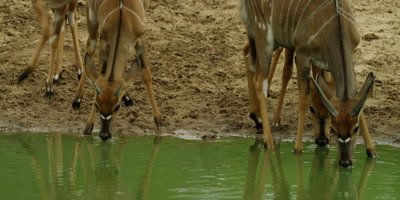 Nyala - herd drinking, close shot