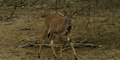 Nyala - young ram in bush