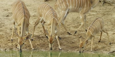Nyala - females and juvenile drinking