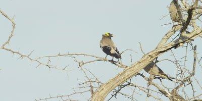 Wattled Starling - flock on thorn tree