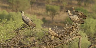 Vulture - group on tree with Tawny eagle