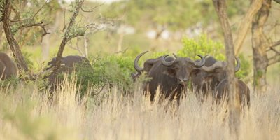 African Buffalo - herd in the bush, wide