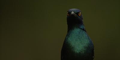 Glossy Starling - looking around, close shot