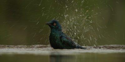 Glossy Starling - bathing