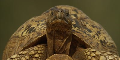 Leopard tortoise - looking at camera, close shot