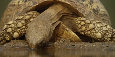 Leopard tortoise - drinking, close shot