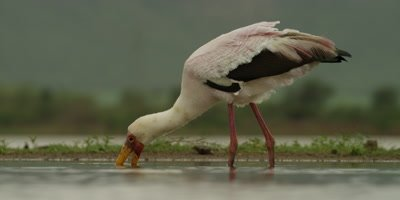 Yellow-billed Stork - searching for food, then lifts head