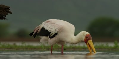 Yellow-billed Stork - searching for food