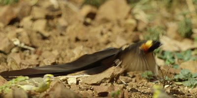 Long-tailed paradise whydah - eating on ground then flies off