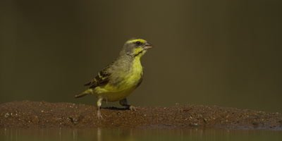 Yellow-fronted Canary - drinking