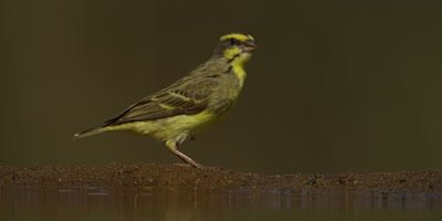 Yellow-fronted Canary - hops then flies away