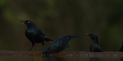 Glossy Starling - flock drinking