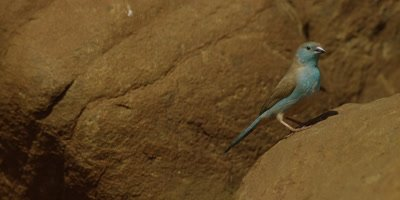 Blue waxbill - hops off rock