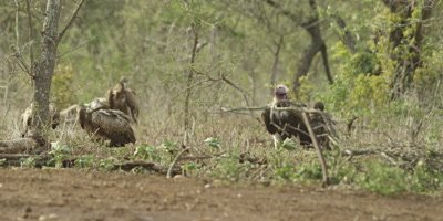 Vulture - White-backed and Lappet-faced on ground