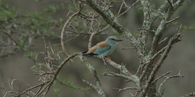 European roller - perched on branch of thorn tree