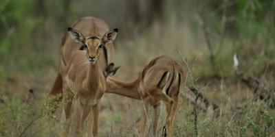 Impala family - standing in the bush