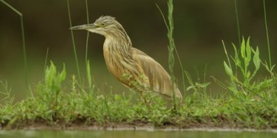 Squacco heron - walking along edge of water