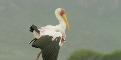 Yellow-billed Stork - walking with wings down and tail up