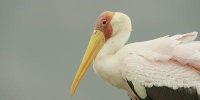 Yellow-billed Stork - walking, close shot of head
