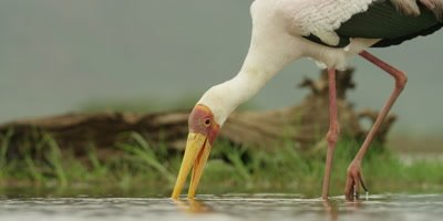 Yellow-billed Stork - searching for food, bends down and picks up twig