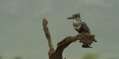 Giant kingfisher - perched on branch, looking around