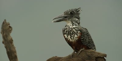 Giant kingfisher - perched on branch, looking around, close shot