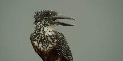 Giant kingfisher - perched on branch, looking around, very close shot
