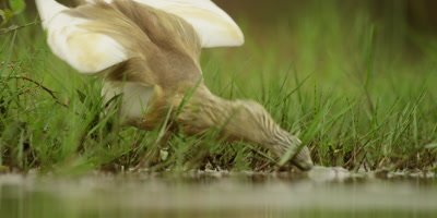 Squacco heron - catching fish