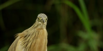 Squacco heron - looks at camera, close up