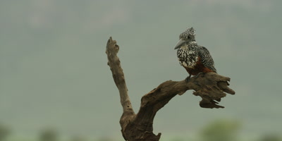 Giant kingfisher - dives into water