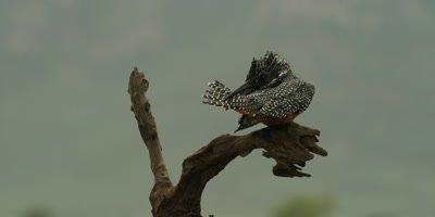 Giant kingfisher - perched on branch, preening