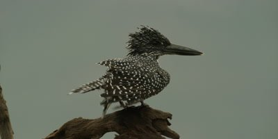Giant kingfisher - perched on branch, preening, close up