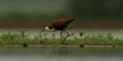 African Jacana - walking, hunting for food