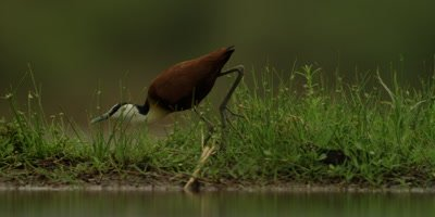 African Jacana - walking through grass, hunting for food