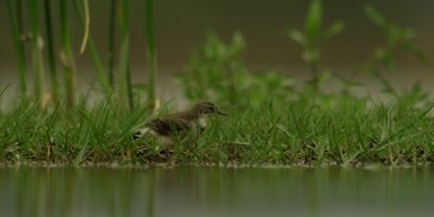 Cape wagtail - bathing