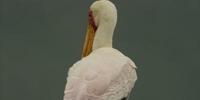 Yellow-billed Stork - tilt from legs to head, facing away