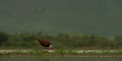 African Jacana - walking next to water, wide shot