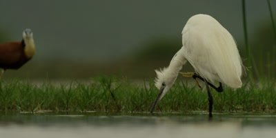 Little egret - wading and scratching neck