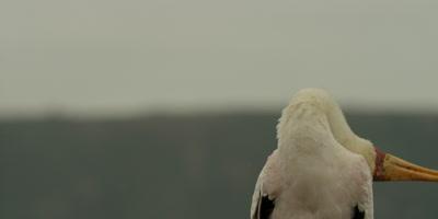 Yellow-billed Stork - bends head backwards