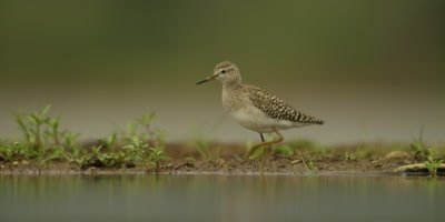 Wood sandpiper - preening and walking