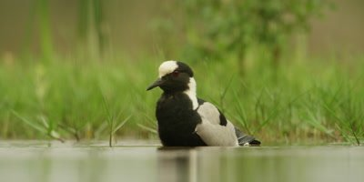 Blacksmith lapwing - bathing